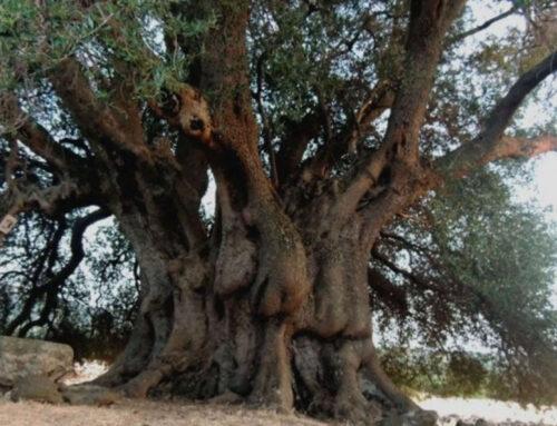 Bruciato Sa Tanca Manna, l'olivo millenario di Cuglieri.